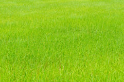 The rice growing in cornfield Royalty Free Stock Photo