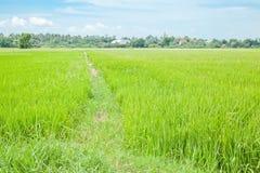 Rice growing Royalty Free Stock Photos