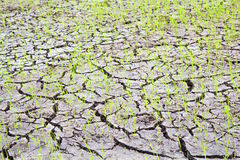 Rice growing on drought field Royalty Free Stock Photos