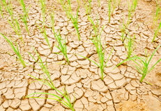 Rice growing on drought field, drought land Stock Photography