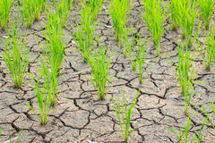 Rice growing on drought field Stock Photography