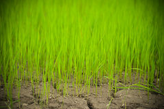 Rice Growing at farm Stock Image