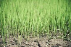 Rice Growing at farm Stock Photos