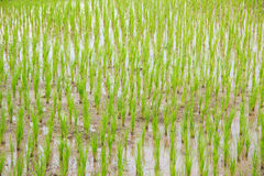 Rice growing Royalty Free Stock Photos