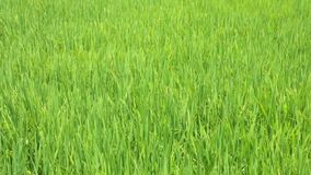 Rice Farming Field High Definition Movie Footage. Rice growing in a field being blown in the wind, high definition movie clip stock footage stock footage