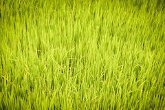 Rice Growing field Stock Photography