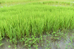 Rice Growing field Royalty Free Stock Images