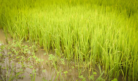 Rice Growing field Stock Image