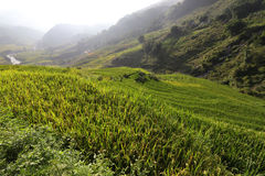 Rice growing in Sapa, Vietnam Royalty Free Stock Photos