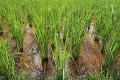 Rice growing Stock Photography