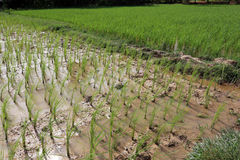 Rice growing Royalty Free Stock Photo