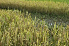 Rice growing Stock Image
