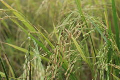 Rice growing Royalty Free Stock Image