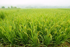 Rice grown ripe harvest Royalty Free Stock Images