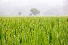 Rice grown ripe harvest Royalty Free Stock Image