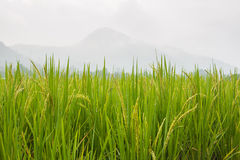 Rice grown ripe harvest Stock Image