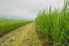 Rice grown ripe harvest Stock Photo