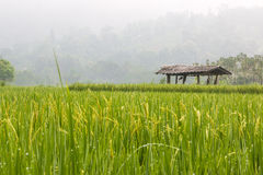 Rice grown ripe harvest Stock Photography