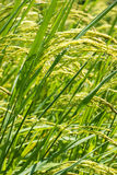 Rice grown ripe harvest Stock Images