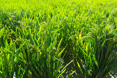 Rice grows  in sunny day Stock Photography