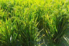 Rice grows  in sunny day Royalty Free Stock Photography