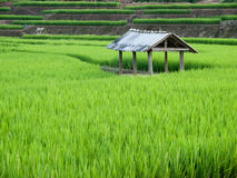 Rice growth Stock Image