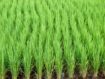 Rice growth. Traditional Thai style rice growth Stock Photography