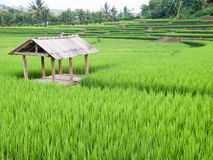 Rice growth Royalty Free Stock Images