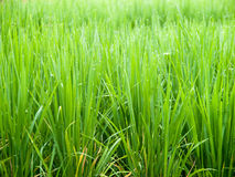 Rice growth. Traditional Thai style rice growth Royalty Free Stock Image