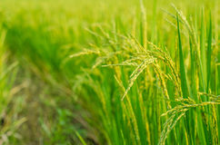 Rice. Growth Cereal Plant Processed Grains Field Non-Urban Scene Ripe Crop Plant Autumn Summer Season  Paddy Farm Food Royalty Free Stock Photography