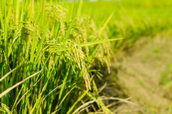 Rice. Growth Cereal Plant Processed Grains Field  Scene Ripe Crop Plant Autumn Summer Season  Paddy Farm Food unmilled Seed Stem Beauty In Nature Royalty Free Stock Photos