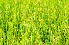 Rice. Growth Cereal Plant Processed Grains Field  Scene Ripe Crop Plant Autumn Summer Season  Paddy Farm Food unmilled Seed Stem Beauty In Nature Royalty Free Stock Photography