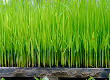 Rice growth in the research plate Royalty Free Stock Images