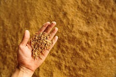 Rice on hand above pile of riace  in warehouse, Thailand. Royalty Free Stock Photography