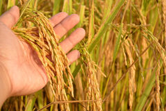 Rice on Hand in Cornfield. In Thailand Royalty Free Stock Photo