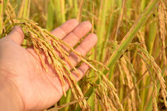 Rice on Hand in Cornfield. In Thailand Royalty Free Stock Images