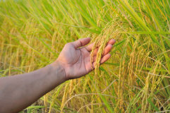 Rice in hand. Rice is the staple food of the Thai people and when the rice is yellow before harvests are beautiful Stock Photo