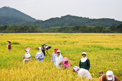 Rice harvest. BATANGAS, PHILIPPINES - OCTOBER 9: Female Filipina workers harvesting rice on a hot sunny day.  October 9, 2006 in Batangas, Philippines Royalty Free Stock Photo