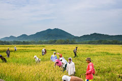 Rice harvest. BATANGAS, PHILIPPINES - OCTOBER 9: Female and male Filipino workers harvesting rice on a hot sunny day.  October 9, 2006 in Batangas, Philippines Royalty Free Stock Photos
