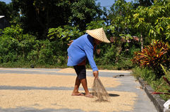 Rice harvest. Woman is drying rice during harvest, Lombok, Indonesia Stock Images