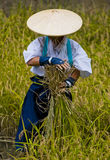 Rice harvest stock image