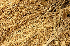 Rice harvest Royalty Free Stock Photo