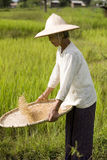 Rice Harvest Stock Images