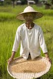 Rice Harvest Royalty Free Stock Images