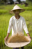 Rice Harvest Stock Photo