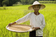 Rice Harvest Royalty Free Stock Photography