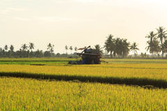 rice harvest. Stock Photo