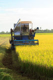 Rice harvest. Stock Photography