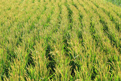 Rice harvest in the autumn Stock Photos