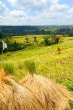 Rice harvest, Bali, Indonesia Stock Photos